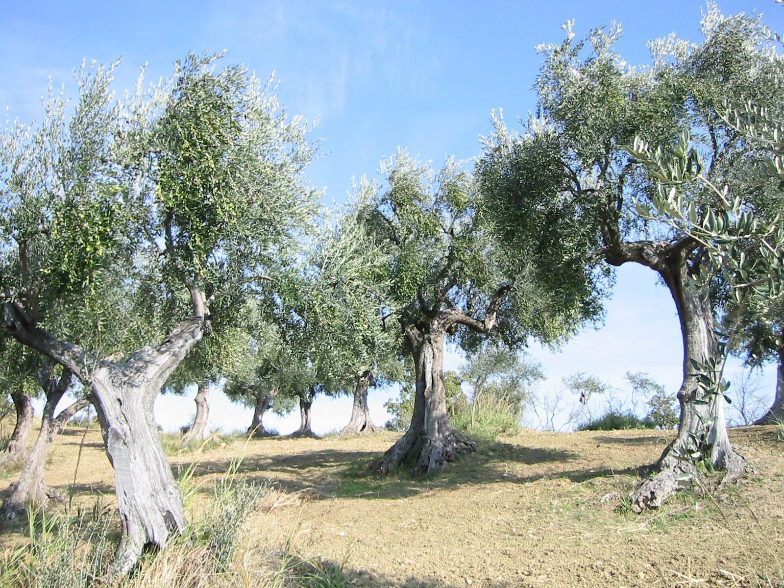 piantagioni secolari ruscigno tricarico